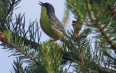 Reflections on searching for and finding Kirtland's Warbler: An Article by Paul Aird, Professor Emertus