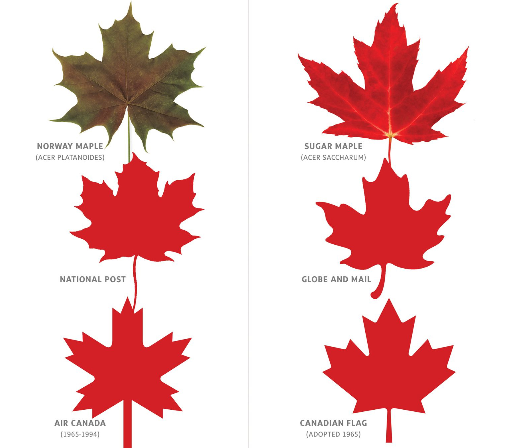 The Globe and Mail: The Norway maple is a bully, and shouldn't be confused  with the sugar maple tree | Forestry